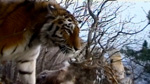 Cat-7 Hunt-for-the-russian-tiger docu